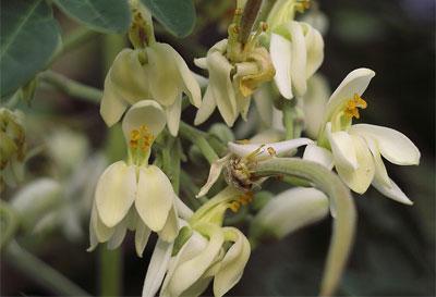 Moringa Shower Gel 30 Prozent günstiger Moinga Blüte